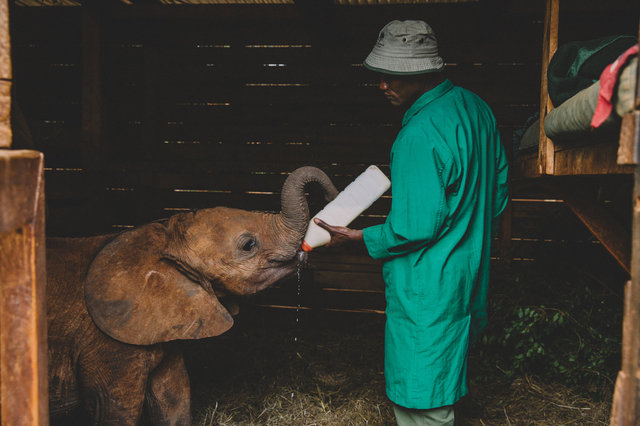 Baby elephant being fed
