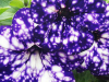 Night Sky Petunias Look Like the Galaxy's Painted on It and It's Majestic!
