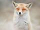This Dutch Photographer Takes Awesome Photos of Wild Foxes and They're Super Zen